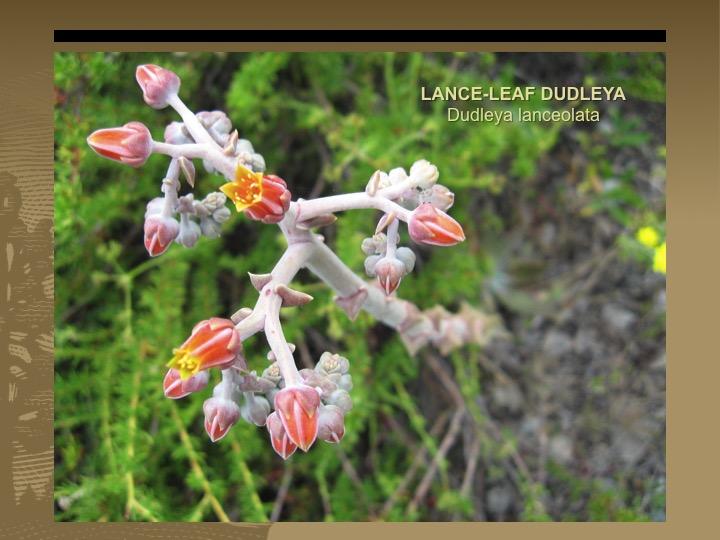 Lance-leaf dudleya