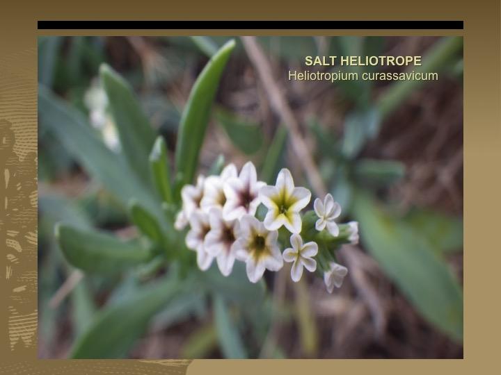 Salt Heliotrope