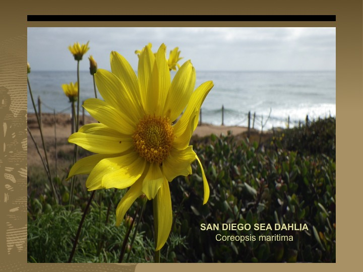Sea Dahila