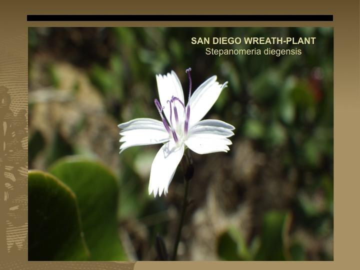 Wreath-plant