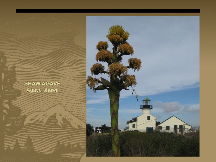 Shaw Agave