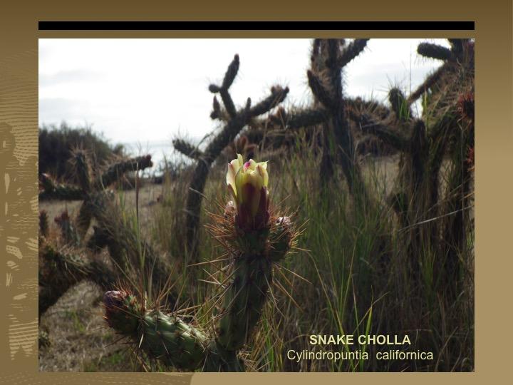 Snake Cholla