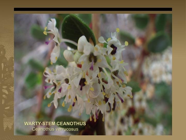 Warty-stem Ceanothus