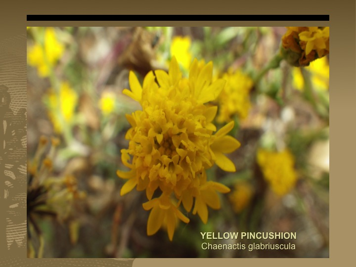 Yellow Pincushion
