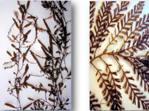 Sargassum filicimum / Sargassum horneri