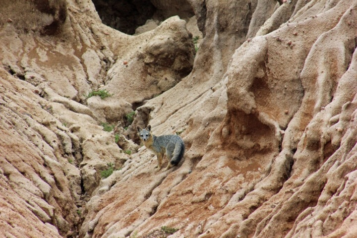 A gray fox stands on sandstone cliff