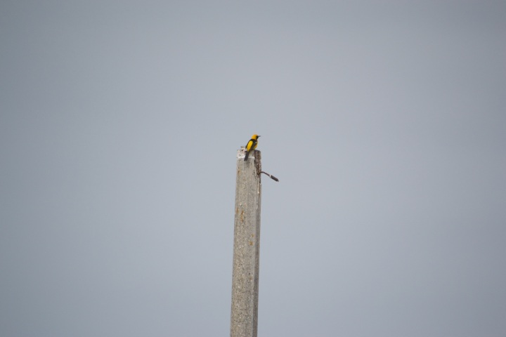 A bird with a yellow head and yellow wings perched on top of a post