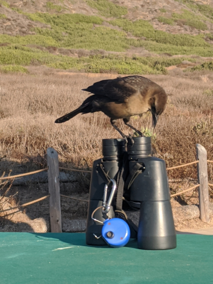 A brown bird with black wings stands on top of a set of binoculars on a green table.