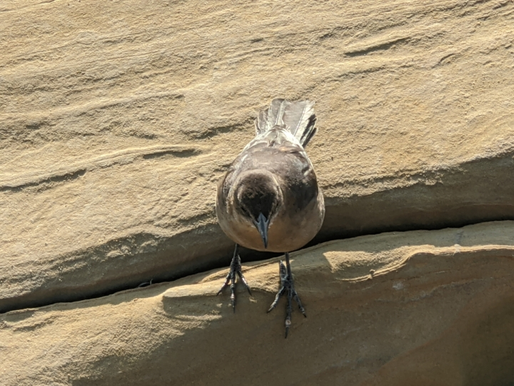 Small crow sized brown bird with black wings stands on tan sandstone looking down.