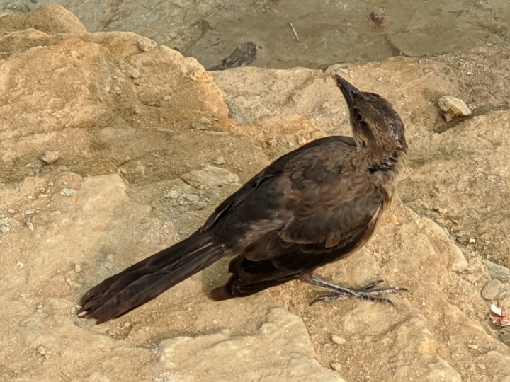 Small crow sized brown bird with black wings stands on tan sandstone.