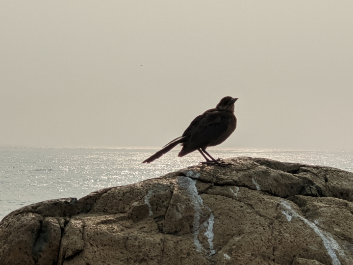 Small crow sized brown bird with black wings stands on rock with ocean in background.