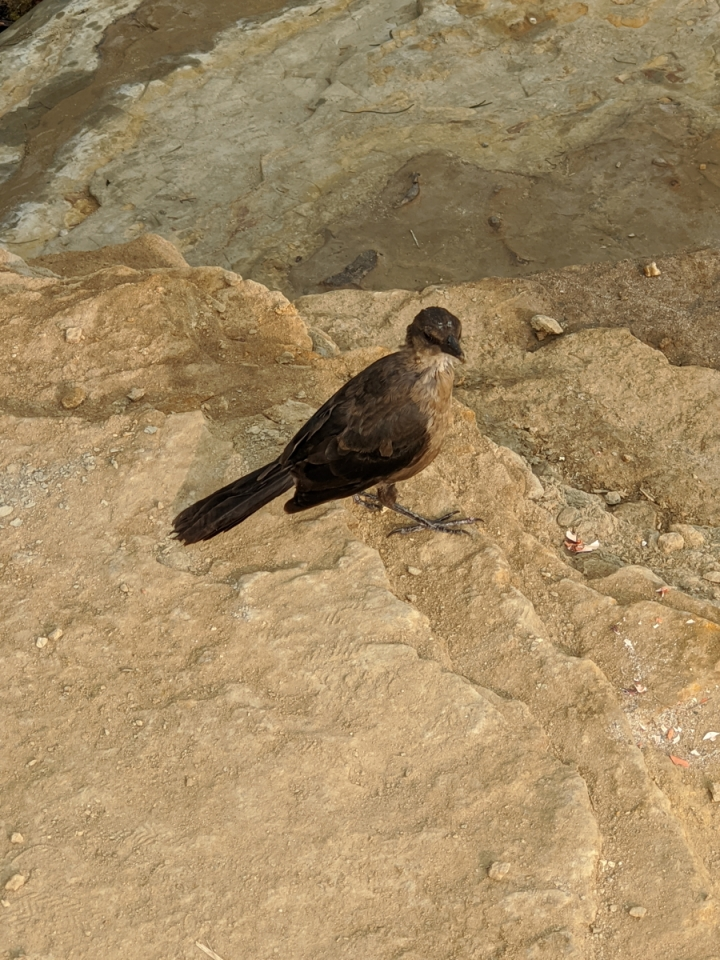 Small crow sized brown bird with black wings stands on sandstone.