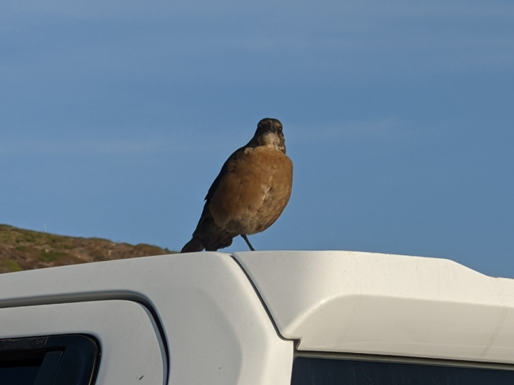 Small crow sized brown bird with black wings stands on top of a car roof.