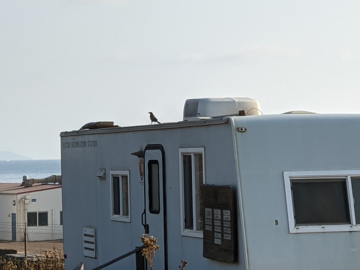 Small crow sized brown bird with black wings stands on a trailer roof.