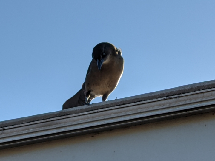 Small crow sized brown bird with black wings looks down from a roof.
