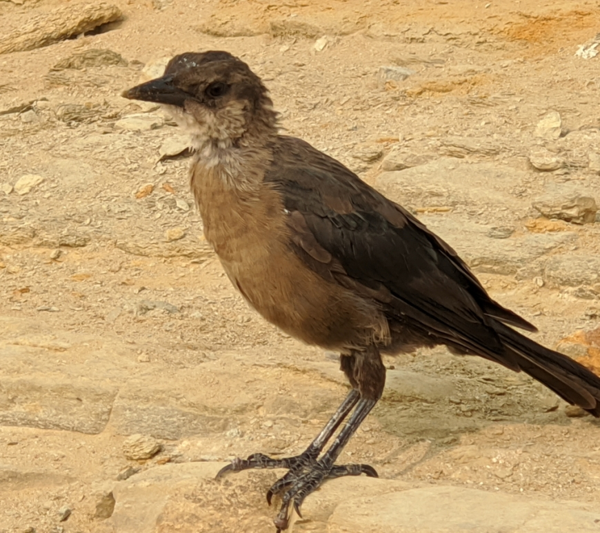 Small crow sized brown bird with black feathers stands on sandstone.