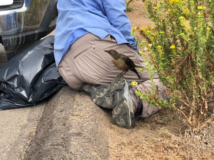 Small crow sized bird stands on foot of woman kneeling down removing weeds. Woman is wearing tan pants and blue volunteer shirt.
