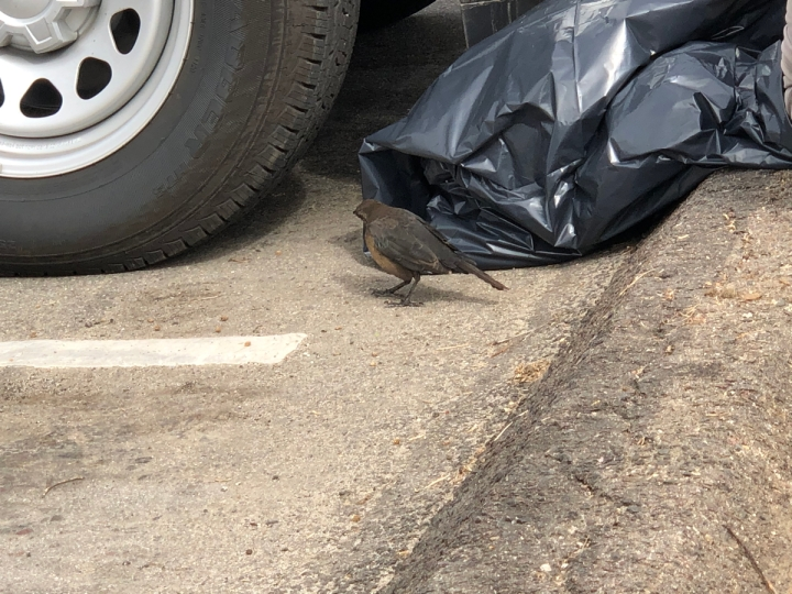 Small crow sized bird stands on ground next to black trash bag by truck tire