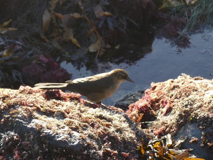 Brown and gray bird stands on rock