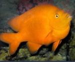 An orange colored fish.