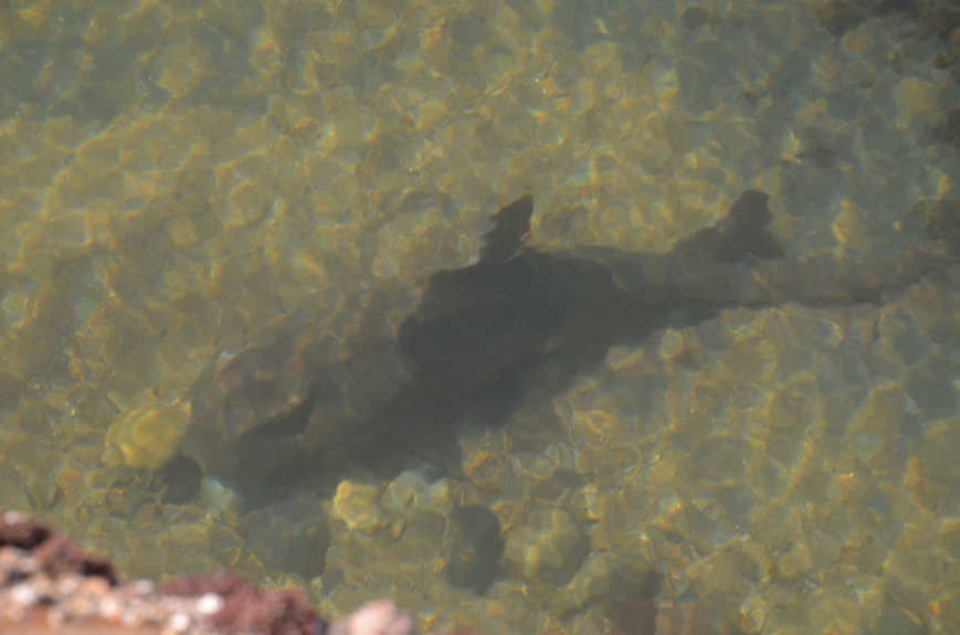 Brown shark in shallow water