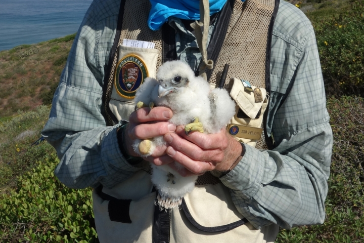 VIP Dan (face not showing) holds a fluffy, baby Peregrine Falcon on a green trail overlooking the ocean.
