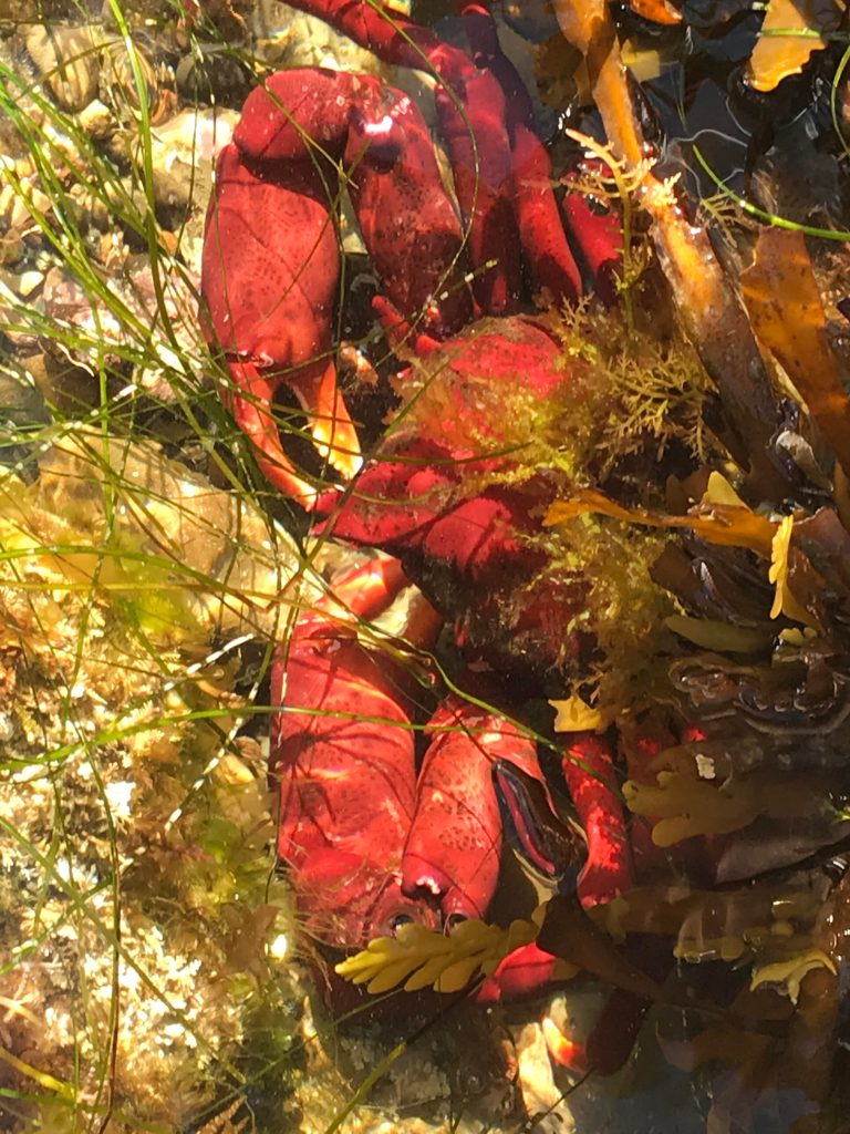 A large red crab with two large pinchers