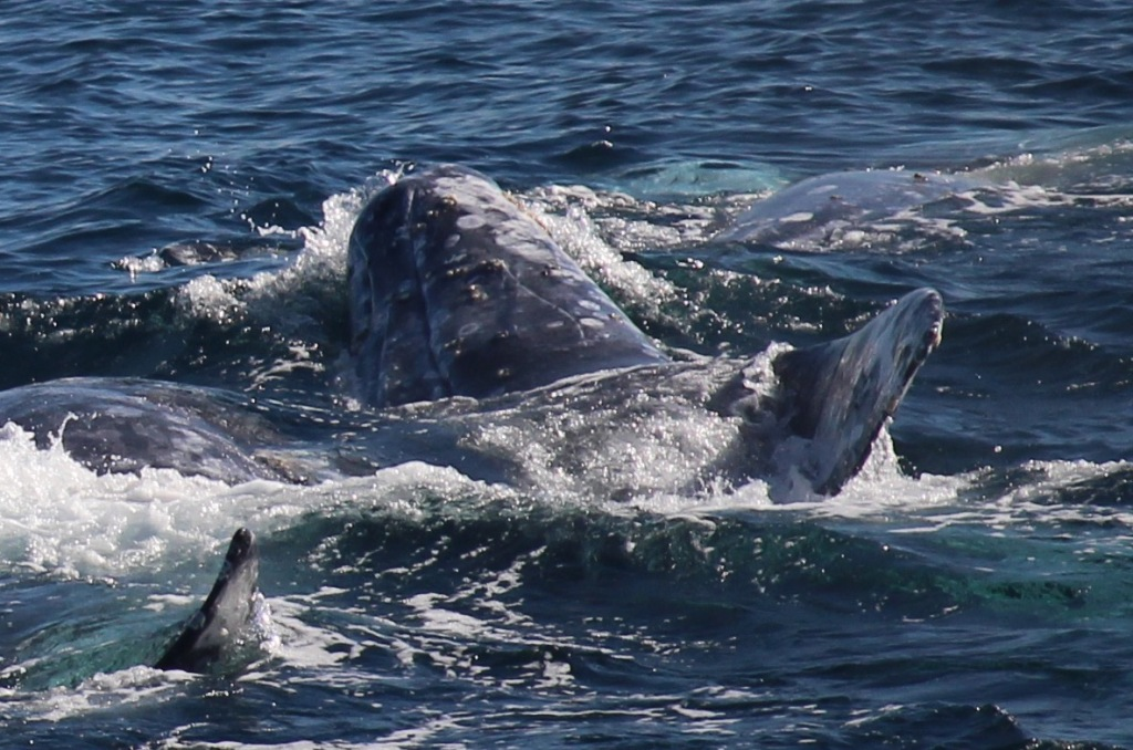 The head of a gray whale surfaces to breathe