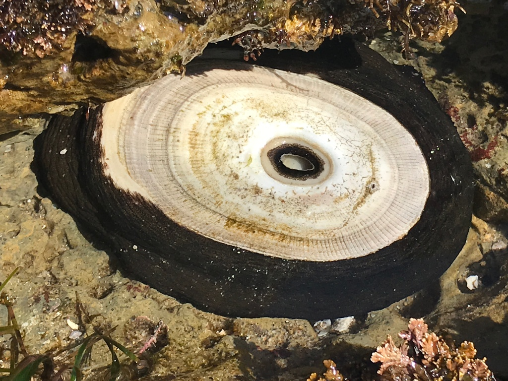 A black blob is attached to a rock. A tan oval shaped hard shell sits on top of the blob. The shell has an opening in the middle.