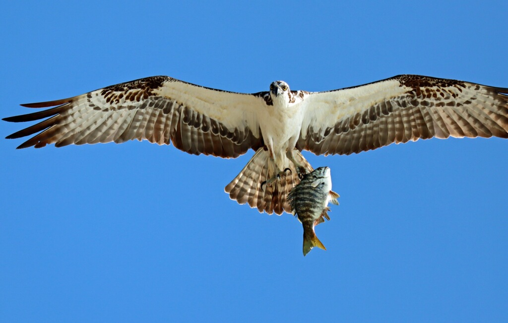 Large gray and white bird flying overhead with fish in claws