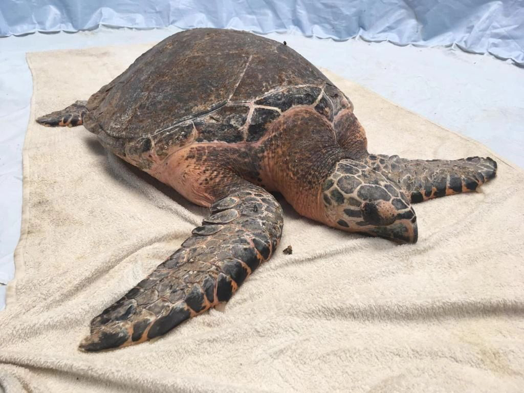 Large sea turtle laying on a beige towel
