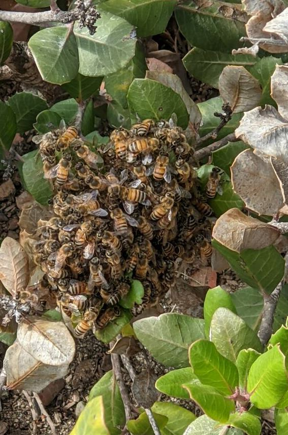 Orange and black striped bees clump together on a bush