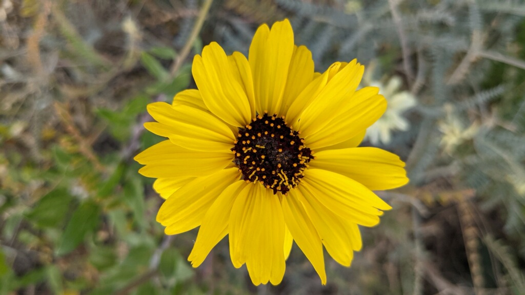 A yellow flower with black center