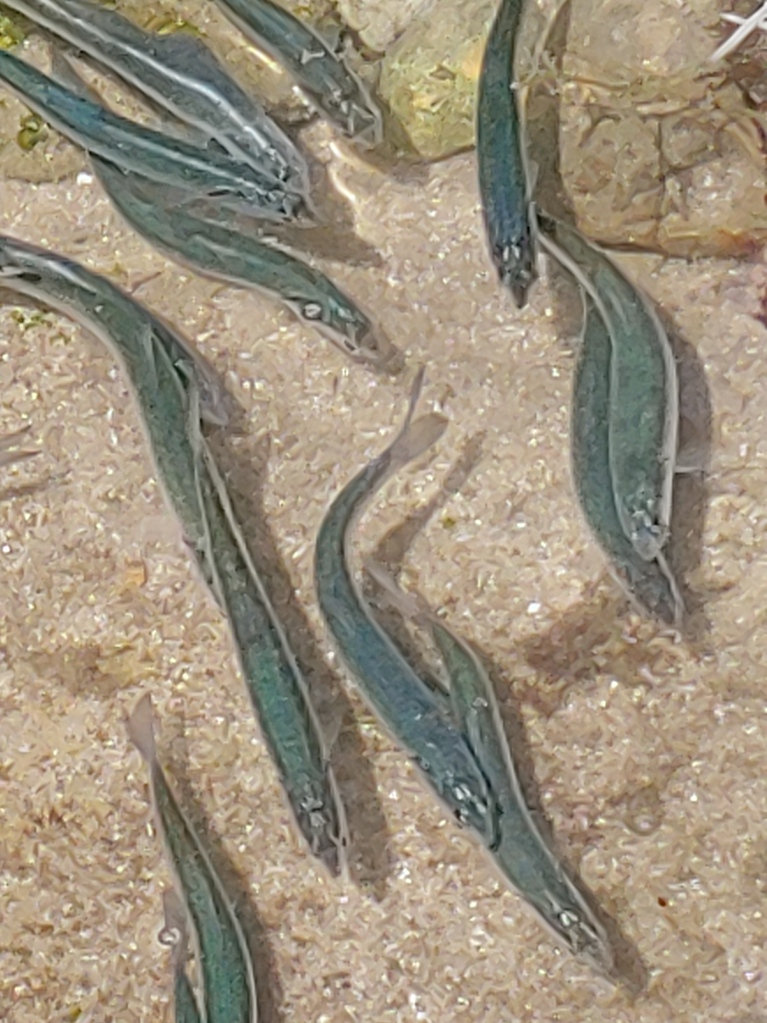 Cylindrical gray fish swim in shallow water