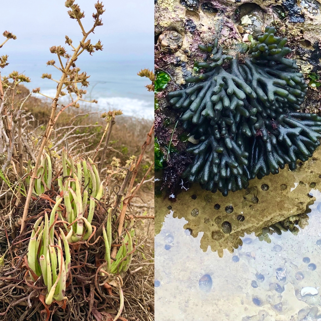 Green finger like terrestrial plant compared to a dark green finger like marine plant.