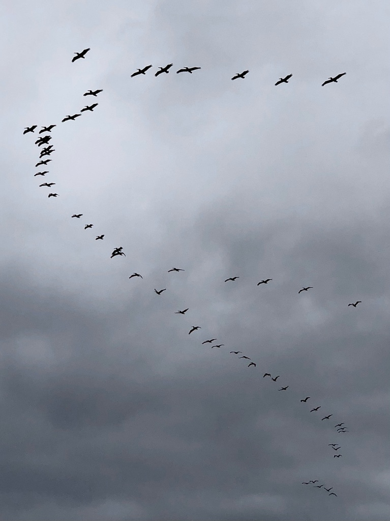 """A group of birds fly in a """"V"""" formation against gray clouds."""